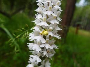 Vlastivědné muzeum Jesenicka přispělo k výzkumu evropských orchidejí