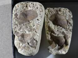Díl čtyřiatřicátý: Zkamenělé mušličky ze severských valounů